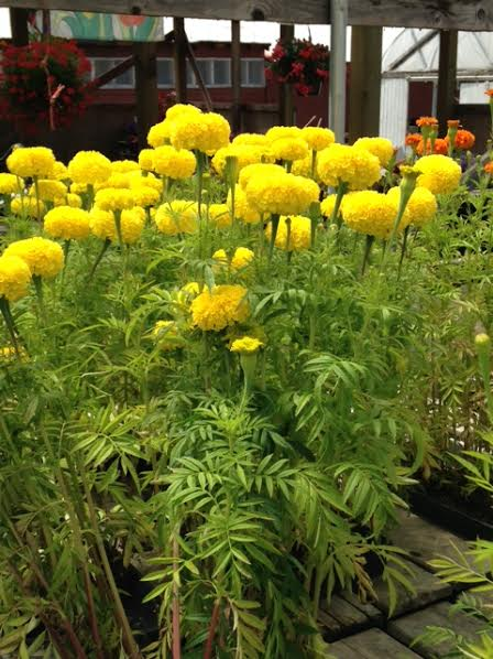 giant marigolds